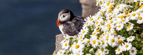 Where to find Puffins in Iceland